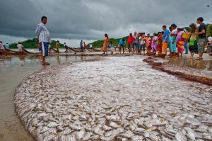Beach-seine Fishing in Goa